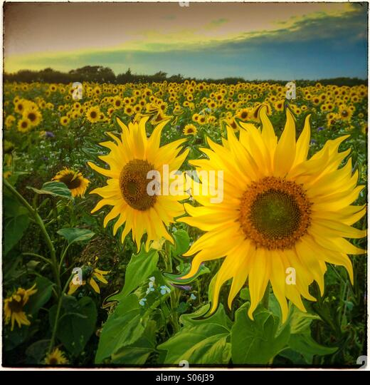 Manipulated images showing a field  of sunflowers in evening sunshine - Stock Image