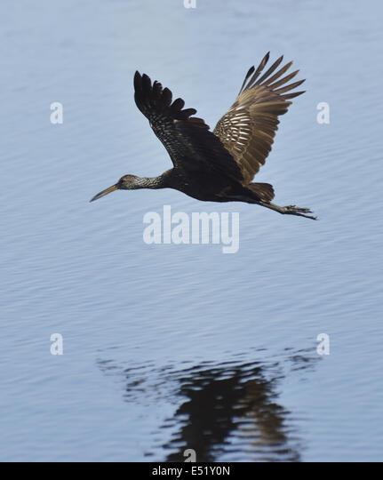 Limpkin Bird - Stock Image