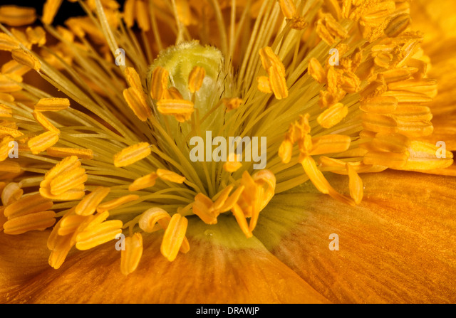 Icelandic Yellow Poppy - Stock Image
