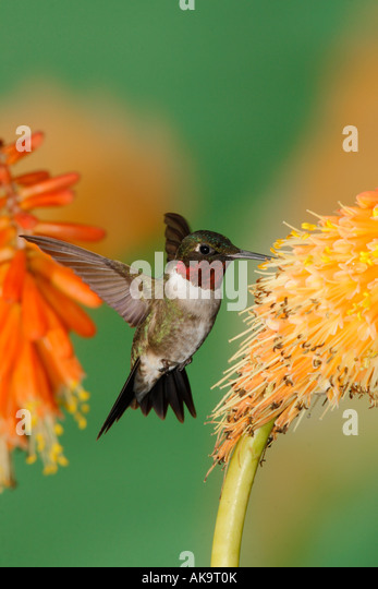 Male Ruby throated Hummingbird in Red Hot Poker Vertical - Stock Image