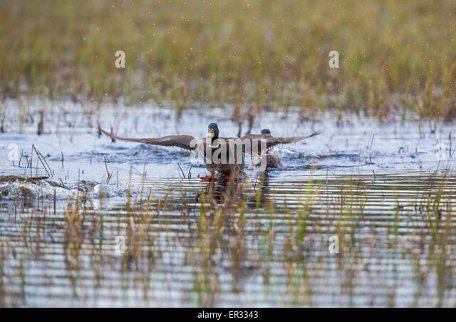 Male Mallard, Anas platyrhynchos, spreading his wing and landing on water - Stock Image