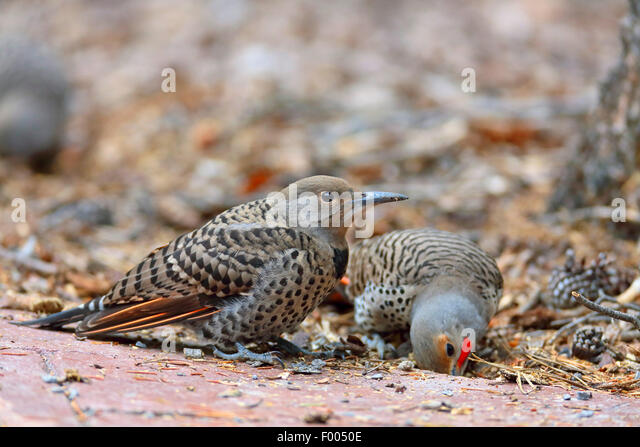 Common flicker (Colaptes auratus), adult and juvenile bird looking for food on the ground, Canada, Alberta, Banff - Stock-Bilder
