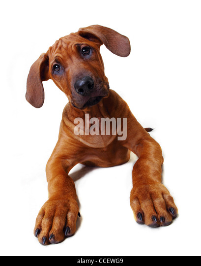A Rhodesian Ridgeback puppy sitting down - Stock Image