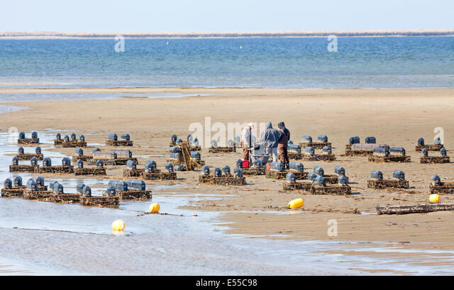 Oyster fishermen working and growing oysters on their oyster farm collect the shell fish from the baskets. - Stock Image