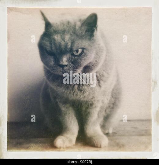 British Short-Haired Blue Cat - Stock Image
