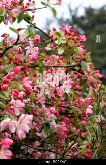floribunda crabapple - photo #42