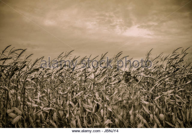 Ghostly figure of man holding an ax in a corn field - Stock Image