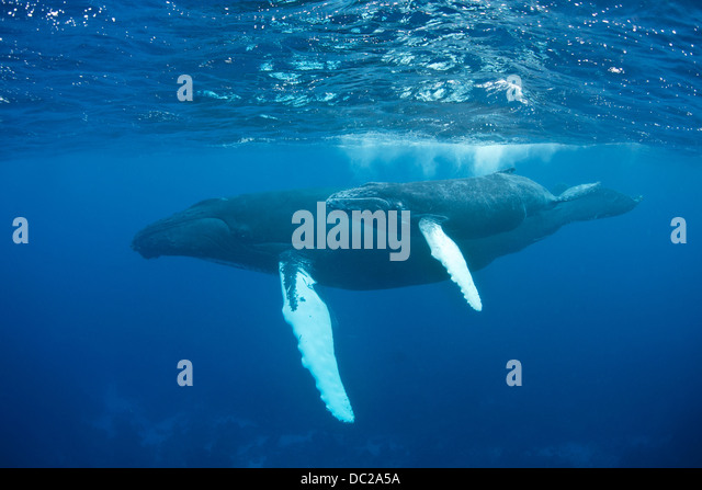 Humpback Whale Mother and Calf, Megaptera novaeangliae, Silver Bank, Atlantic Ocean, Dominican Republic - Stock Image