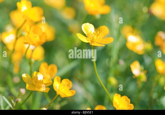 the yellow buttercup field closeup - Stock-Bilder