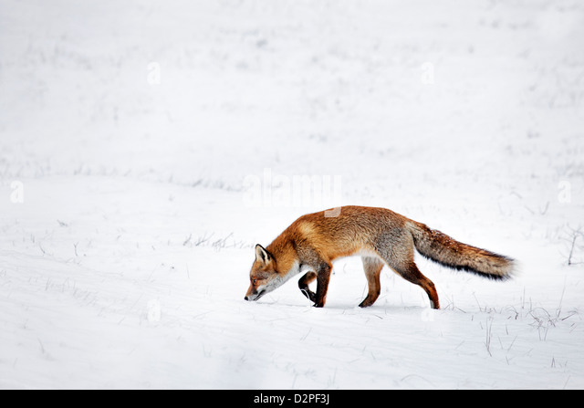 Hunting Red fox (Vulpes vulpes) following scent trail by prey in snow covered grassland in winter - Stock-Bilder