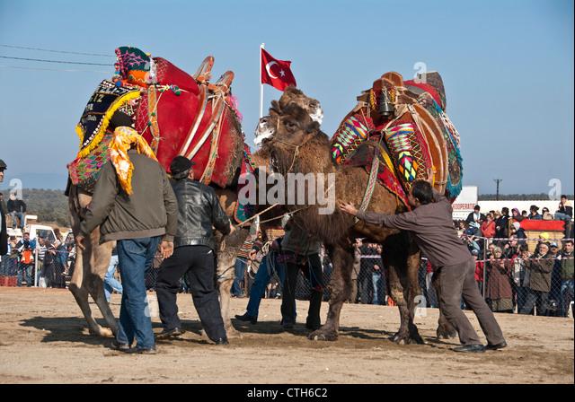 Camel Wrestling, Izmir, Turkey - Stock Image