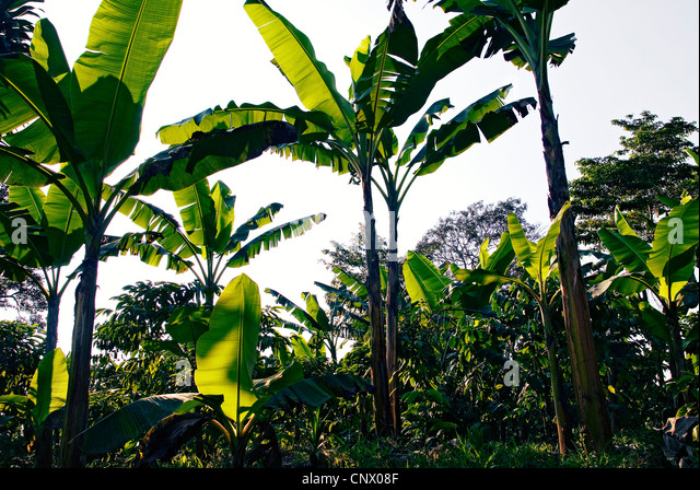 Banana palms provide shade for coffee bushes on a Guatemalan coffee plantation. - Stock Image