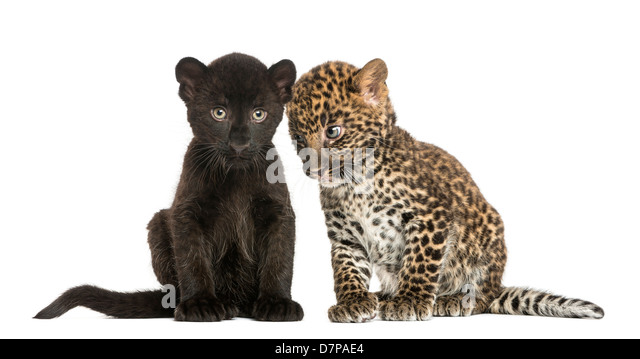 Black and Spotted Leopard cubs, 3 and 7 weeks old, sitting next to each other against white background - Stock Image