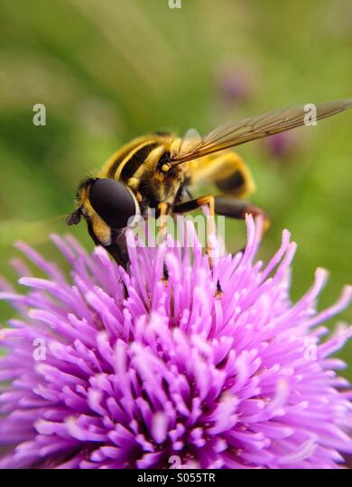 Macro view of a hover fly - Stock Image