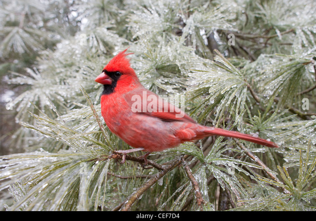 Northern Cardinal perched in Ice Covered White Pine Tree - Stock Image