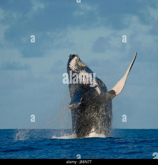 Humpback whale jumps out of the water. Madagascar. St. Mary's Island. An excellent illustration. - Stock Image