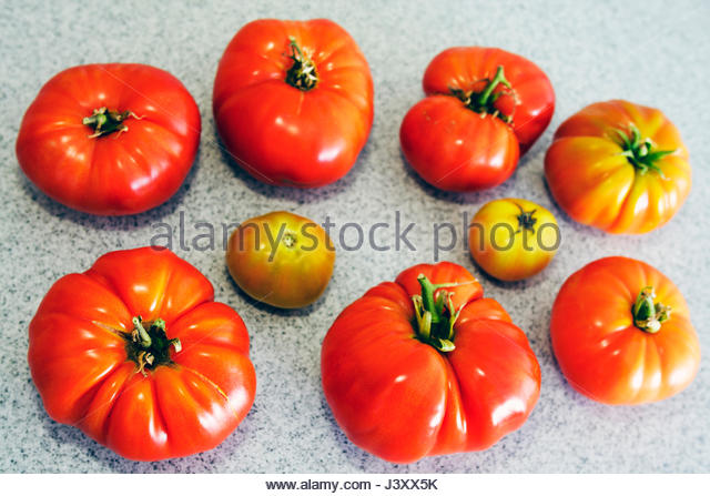Miami Beach Florida garden tomatoes tomato heirloom heritage size big small shape Brandywine ripe ripeness Solanum - Stock Image