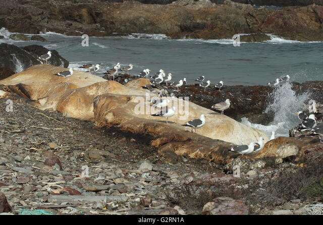 Beached Sperm Whale , Physeter macrocephalus - Stock Image