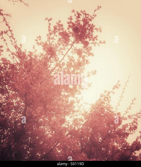 Pink spring blossoms - Stock Image