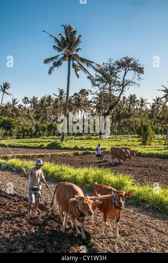Plowing fields near Amed in Eastern Bali, Indonesia. - Stock Image