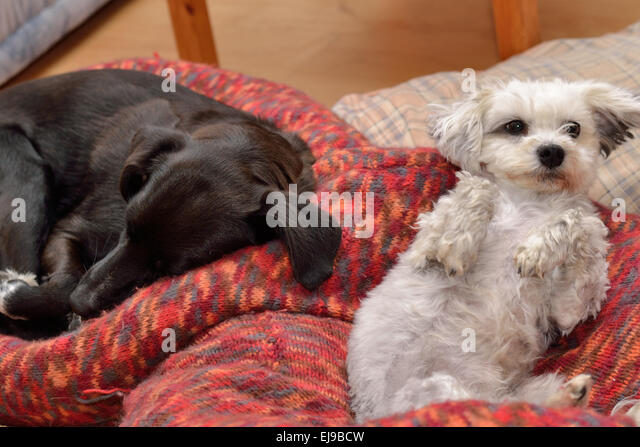 two dogs bed stock photos two dogs bed stock images alamy. Black Bedroom Furniture Sets. Home Design Ideas