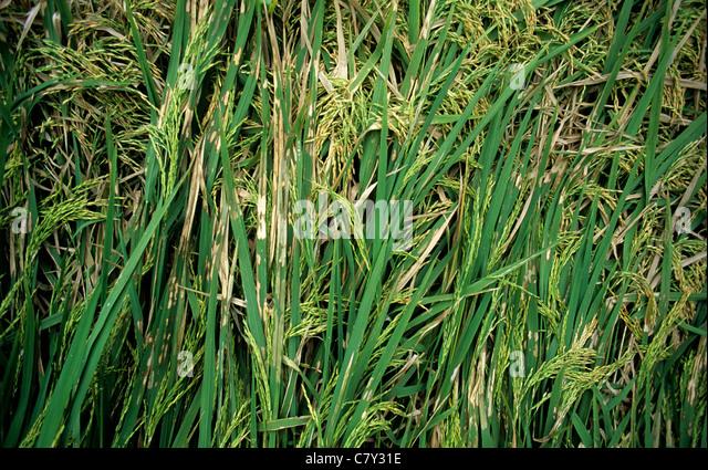 Rice sheath blight (Thanatephorus cucumeris) lesions on lodged rice crop in ear - Stock Image