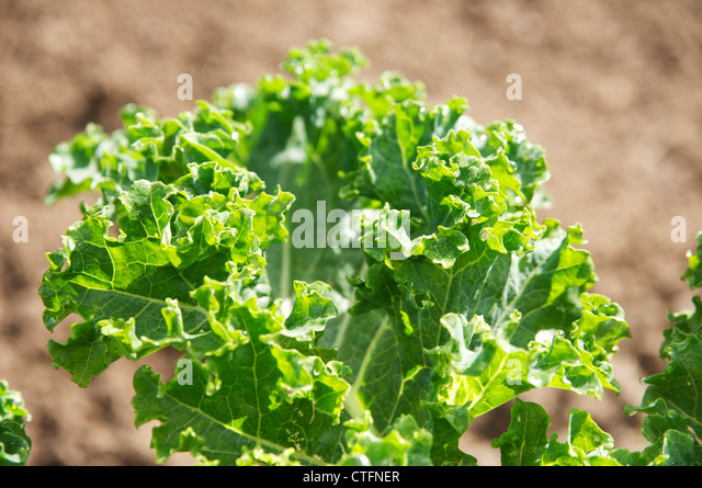 Close-up of a kale leaf in a vegetable garden. - Stock Image