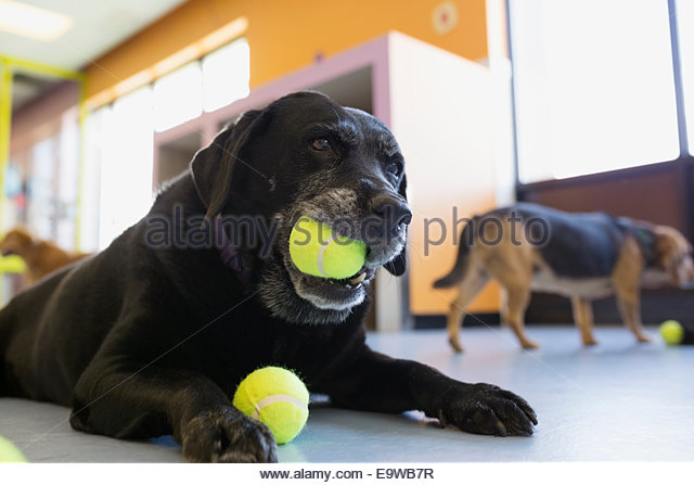 Black Labrador Retriever chewing tennis ball - Stock Image