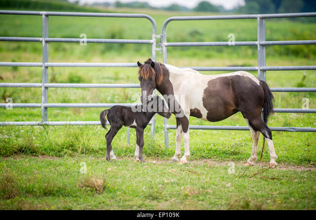 Mother horse with her foal near Hurlock, Maryland, USA, standing near a tall fence - Stock Image