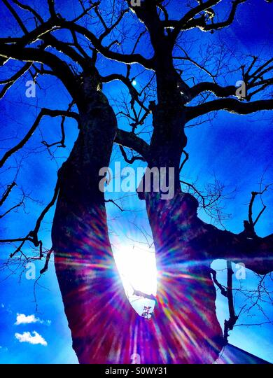 Tree with no leaves back lit silhouette  with flair effect - Stock Image