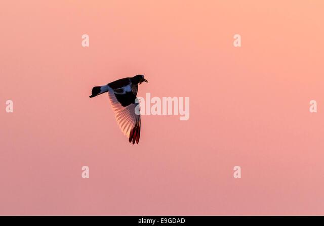 White-crowned Lapwing (Vanellus albiceps) in flight at sunrise, Lake Kariba, Zambia - Stock Image