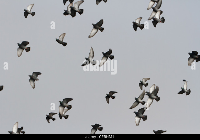 Flying Pigeon for background use - Stock Image