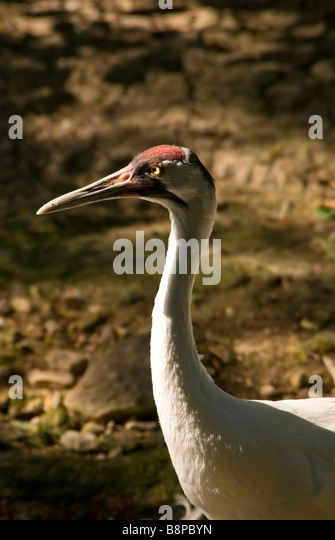 Adult whooping crane head portrait closeup white feathers red crown long dark pointed bill.endangered species - Stock Image