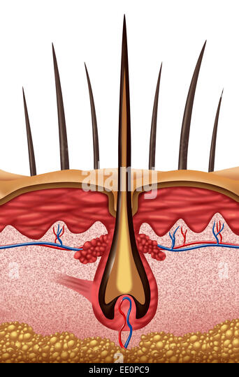 Hair anatomy medical concept as a close up of a human follicle symbol on skin. - Stock-Bilder