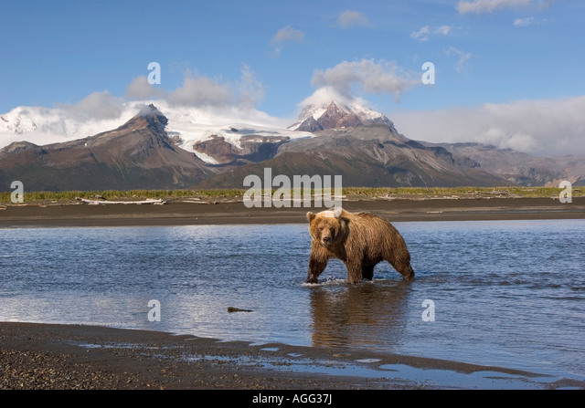 Grizzly looking for salmon in river at Hallo Bay Katmai National Park Alaska - Stock-Bilder