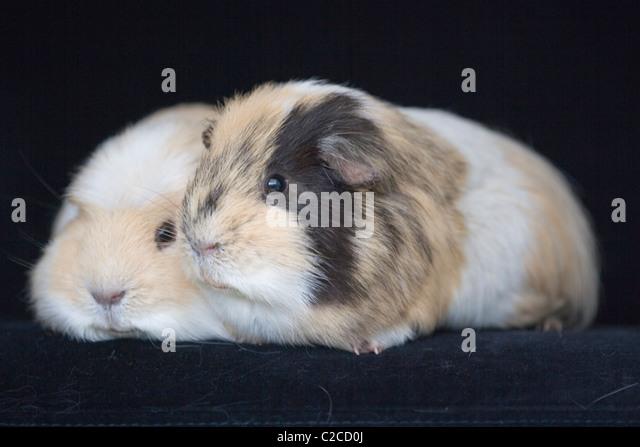 GUINEA PIGS - Stock Image