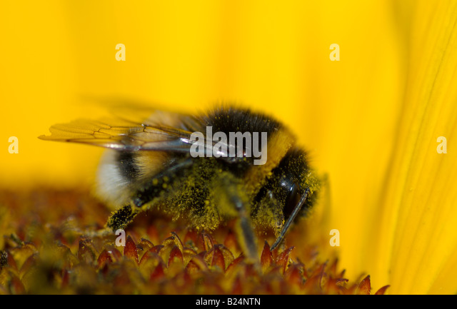 Detail of humble bee inn sunflower, legs and body covered with yellow pollen, detail of insect wings and eye. - Stock Image