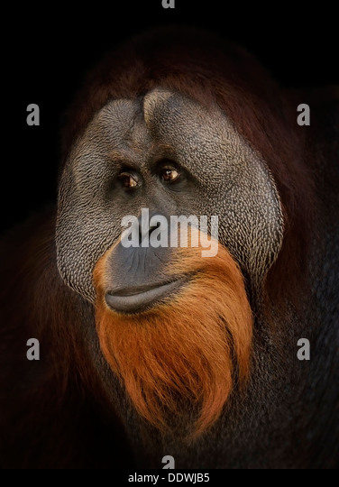 Orangutan Portrait , Close Up Shot - Stock Image