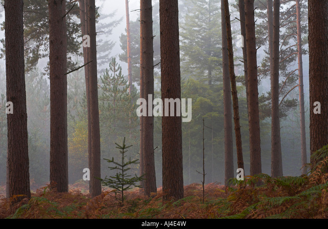 New Forest National park pine wood inclosure on a misty Autumn morning - Stock Image