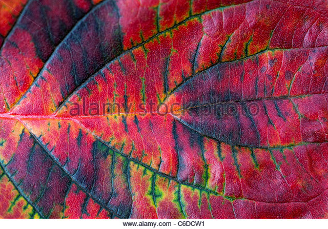 Cornus Ascona . Pacific dogwood tree leaves in autumn - Stock Image