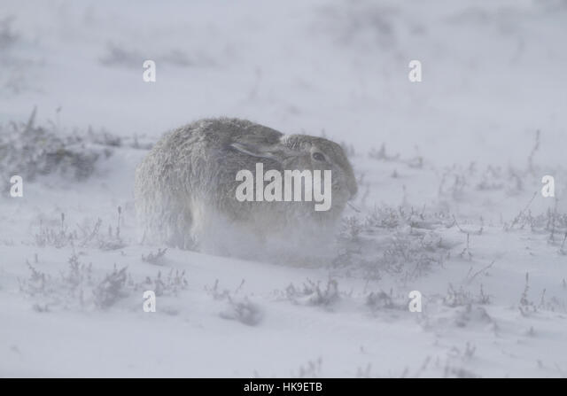 Mountain Hare (Lepus timidus) Adult transitional coat, sheltering during storm, Scotland, March 2015 - Stock-Bilder