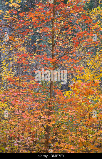 Bigtooth Maple in autumn color in West Fork of Oak Creek Canyon, Coconino National Forest, near Sedona, Arizona - Stock Image