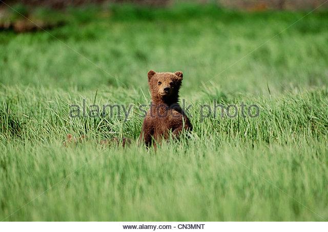 Brown bear cub, McNeil River Bear Sanctuary, Alaska - Stock Image