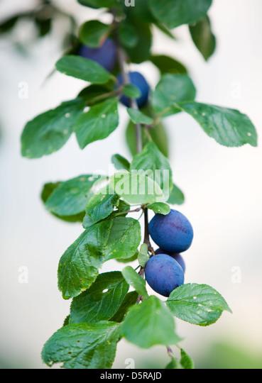Close up of plum tree - Stock Image