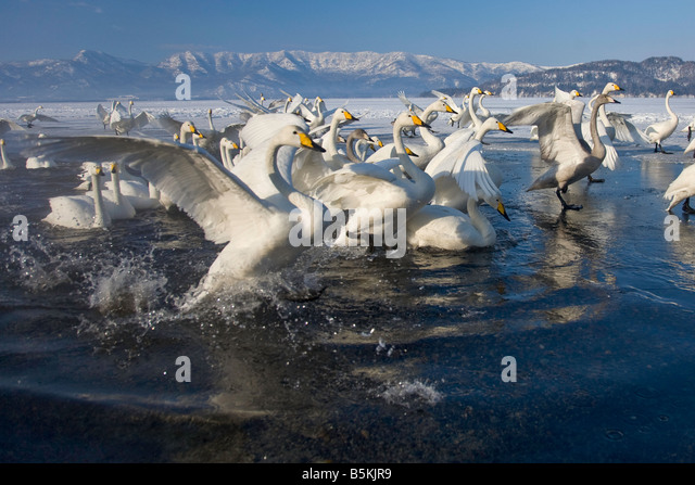 Hokkaido Japan Herd of Whooper Swans Cygnus cygnus gathered in open water on frozen Lake Kussharo Akan National - Stock Image