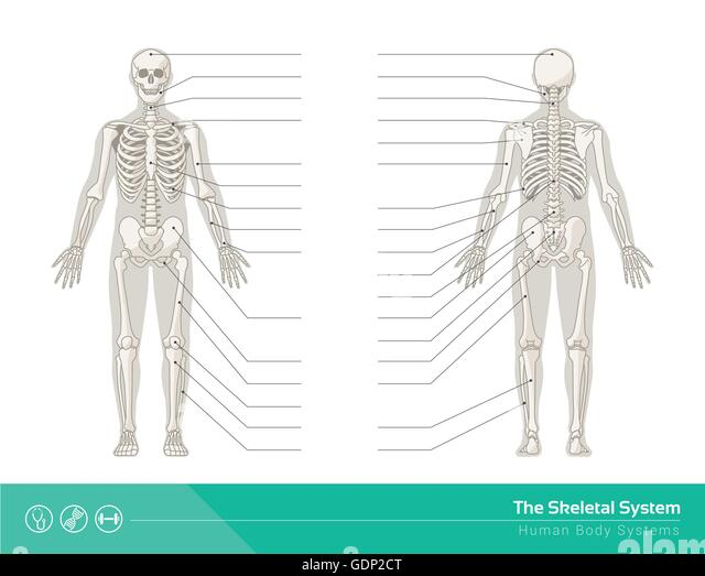 appendicular skeletal system essay Skeletal system skeletal system is the biological system providing support in living organisms skin, muscle and bones allow movement skin – pliable covering.