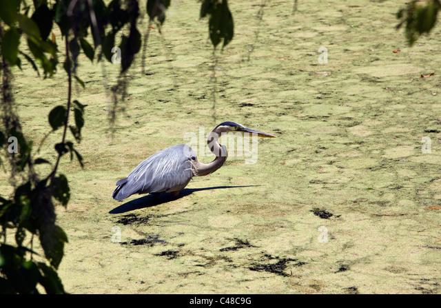Great Blue Heron wading in a pond at Magnolia Plantation & Gardens, near Charleston, South Carolina, USA - Stock-Bilder