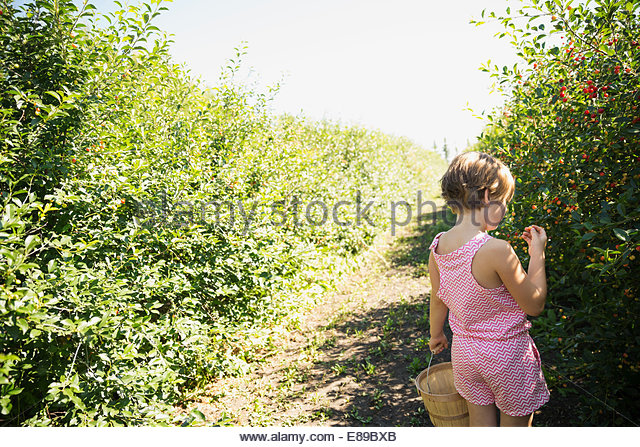 Girl picking currants in garden - Stock Image
