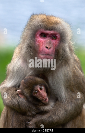 Snow monkey, Japanese macaque (Macaca fuscata) with baby, in captivity, United Kingdom, Europe - Stock Image