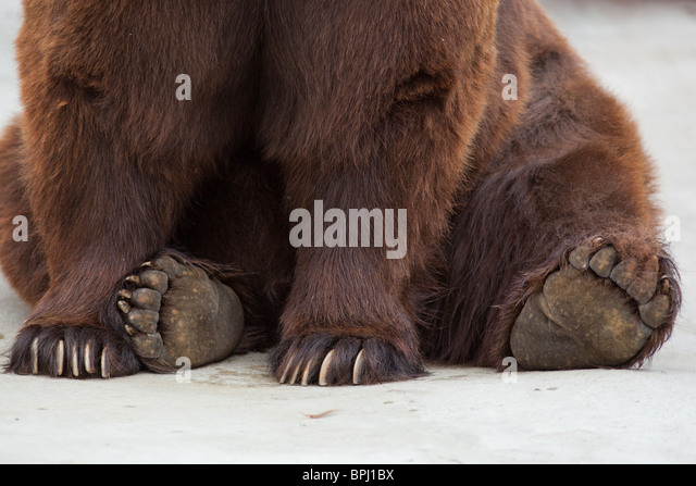 Paws of a brown bear close up. Old brown bear in a zoo. Ursus arctos - Stock Image